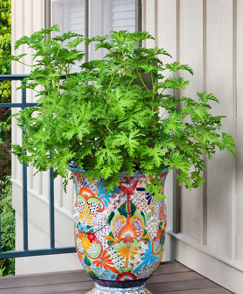 Citronella Plants That Help Keep Mosquitoes Away