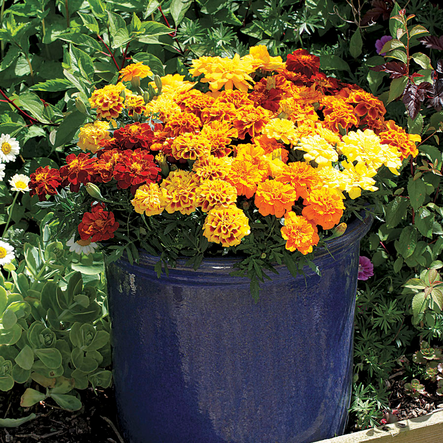 Marigolds Plants That Help Keep Mosquitoes Away