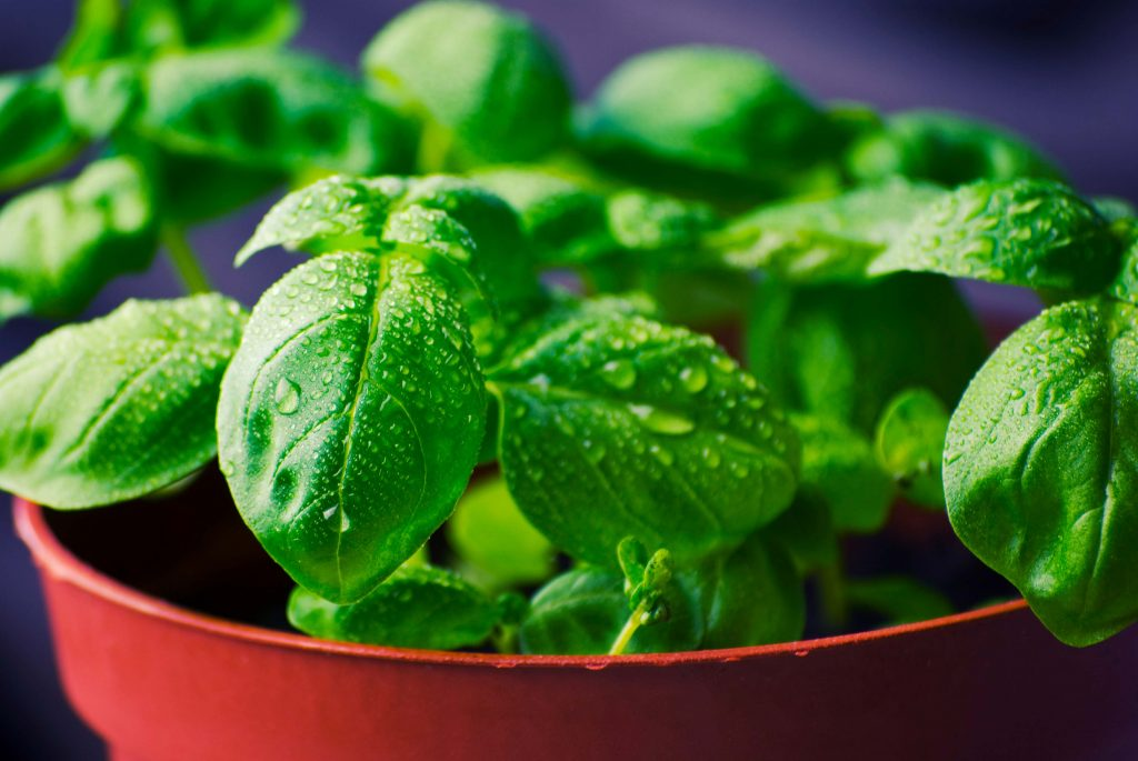 Basil Plants That Help Keep Mosquitoes Away