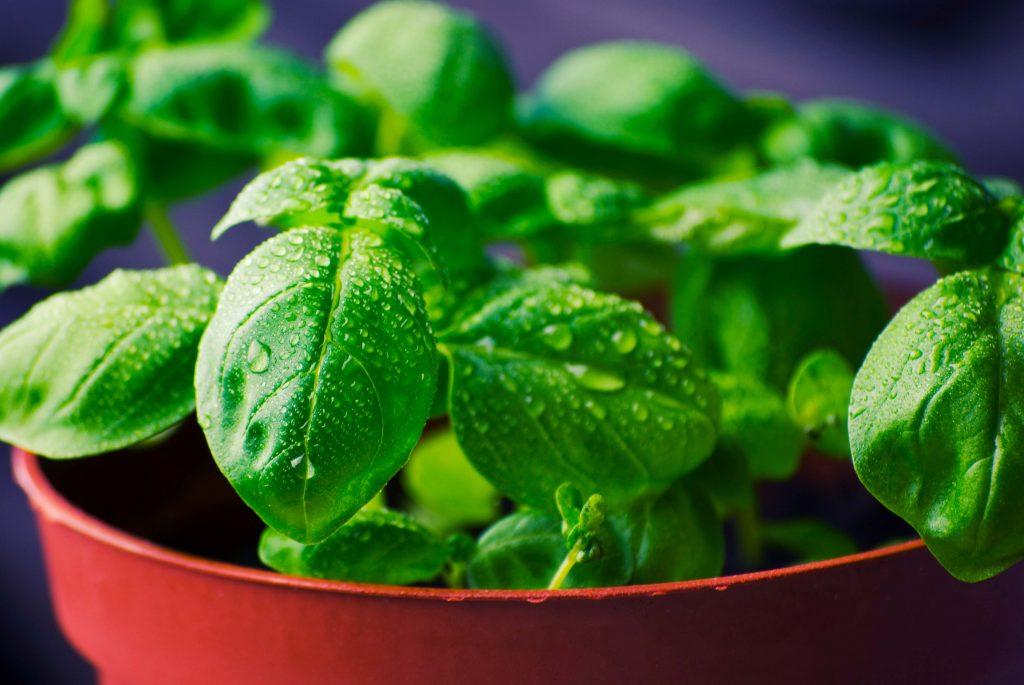 Basil Plants That Help Keep Mosquitoes Away