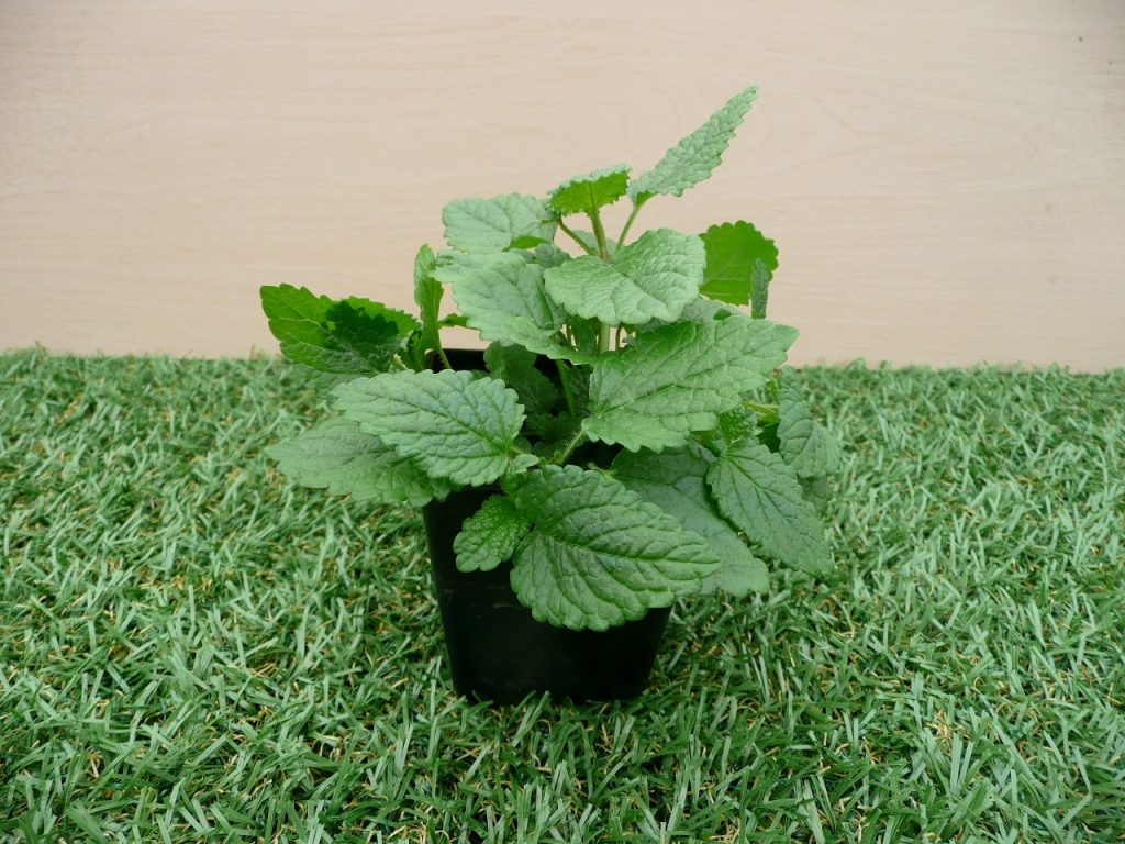 Lemon Balm Plants That Help Keep Mosquitoes Away