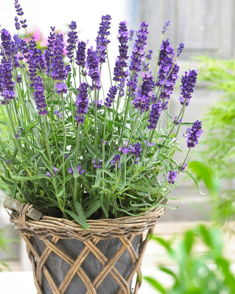 Lavender Plants That Help Keep Mosquitoes Away