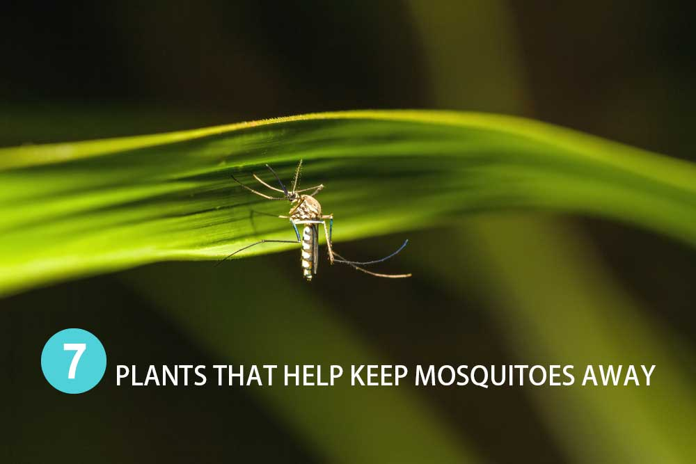 Plants That Help Keep Mosquitoes Away